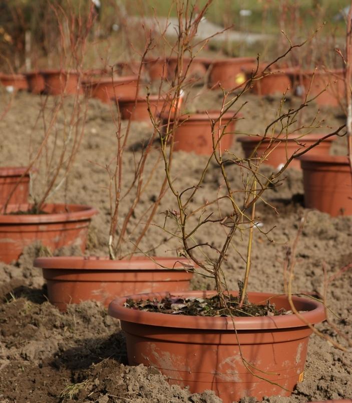 Heidelbeeren Plantage