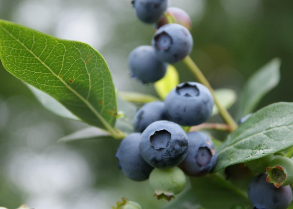 Heidelbeeren, Blueberries