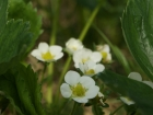 Erdbeeren Blüte